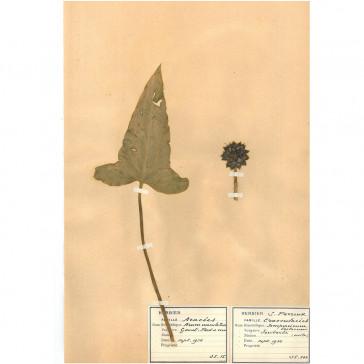 Wild Arum (Arum Maculatum)
