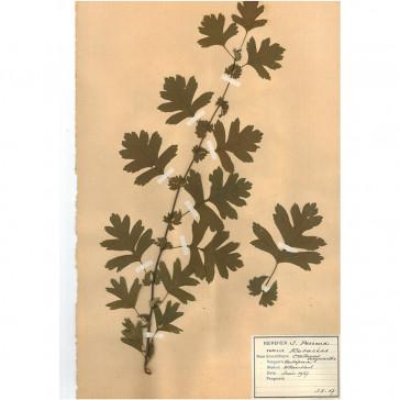 Hawthorn (Crataegus...