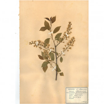 Bird Cherry (Prunus Padus)