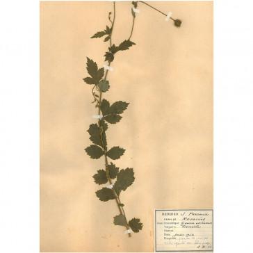 St. Benedict's Herb (Geum...